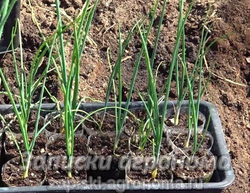 Лук из семян за один год через рассаду на репку