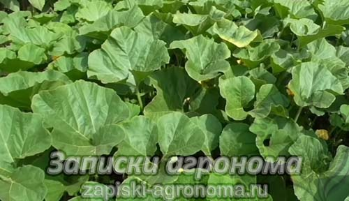 Особенности выращивания тыквы период цветения
