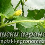 Как вырастить дыню рассадным способом