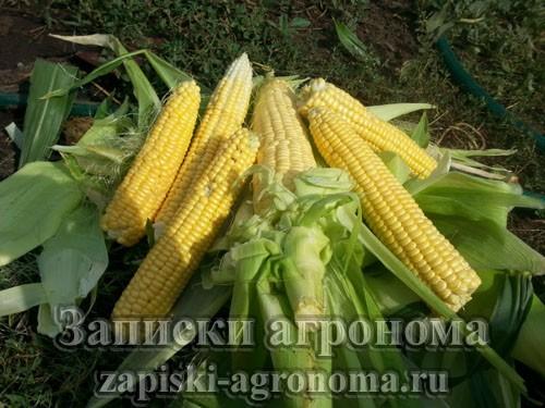 Как вырастить кукурузу в открытом грунте