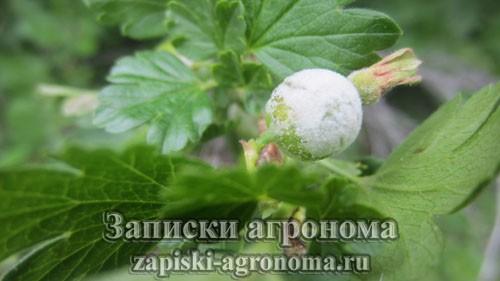Наглядный пример того как поражает растение грибковое заболевание