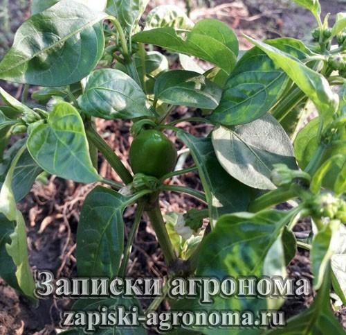 Куст болгарского перца