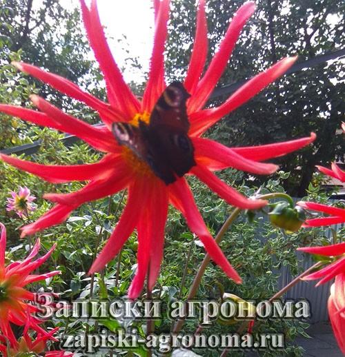 Бабочка на соцветии