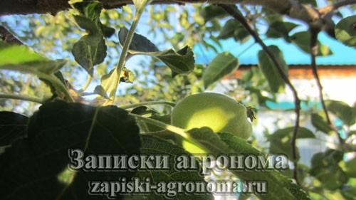 Как ухаживать за саженцем яблони весной