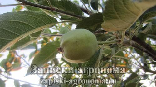 Как ухаживать за саженцем яблони осенью