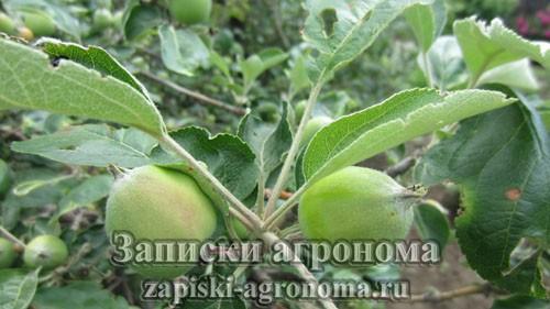 Молодые яблоки