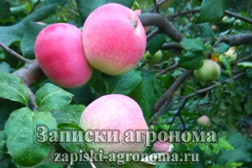 Поспевшие яблоки