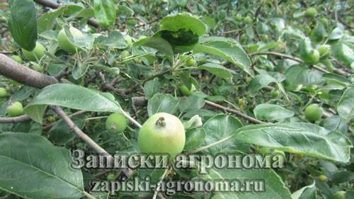 Обильный урожай яблок