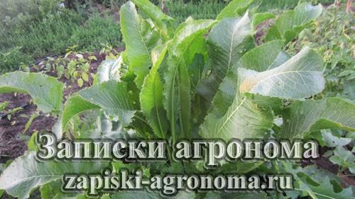 Хрен растение