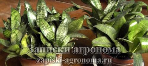 Комнатный цветок сансевиерия
