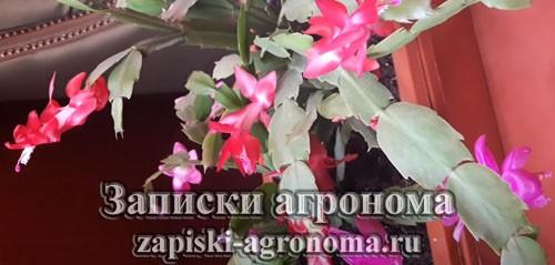 Комнатный цветок зигокактус