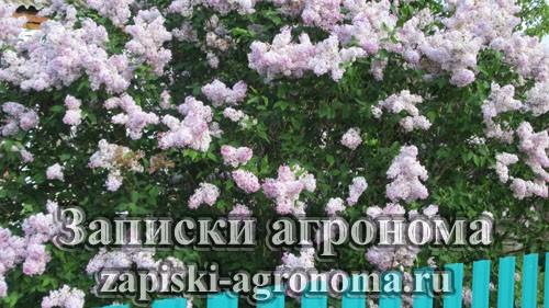 Обильное и пышное цветение сирени