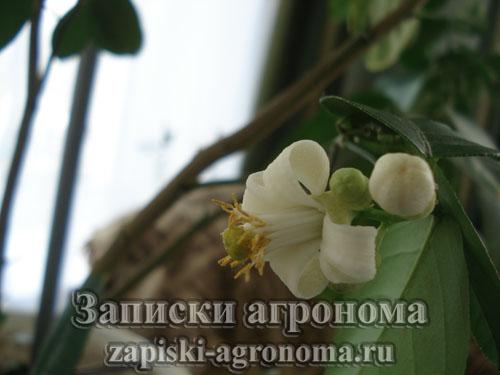 Правила ухода за комнатными растениями цветок лимона