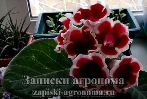 цветы глоксинии