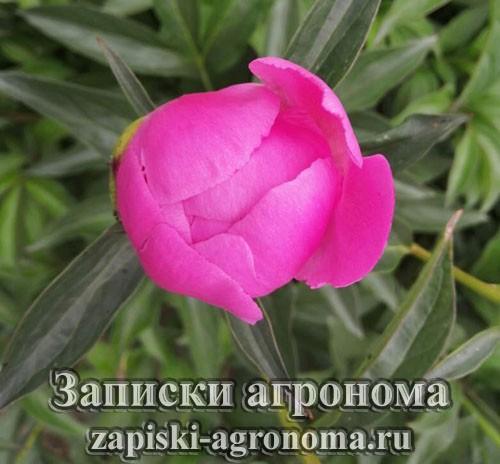 Розовый пион фото