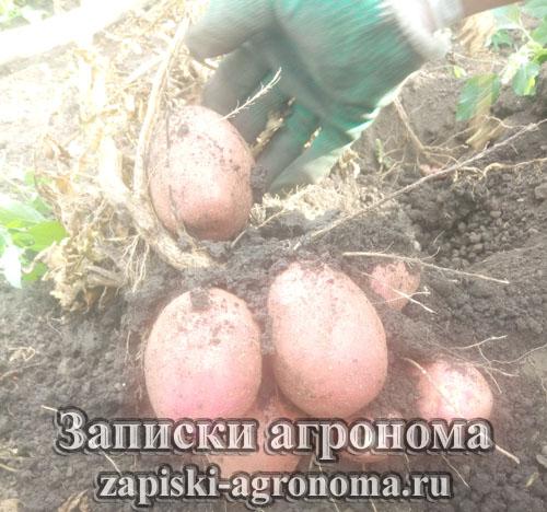 Клубнеплоды картофеля