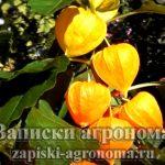 Выращивание и уход за физалисом