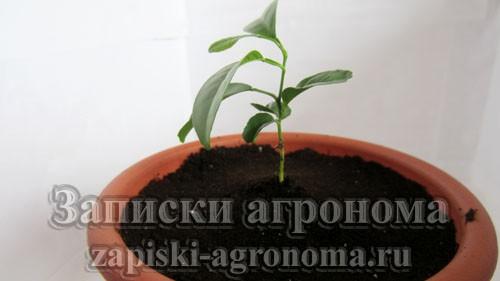 Мандариновое дерево после пересадки