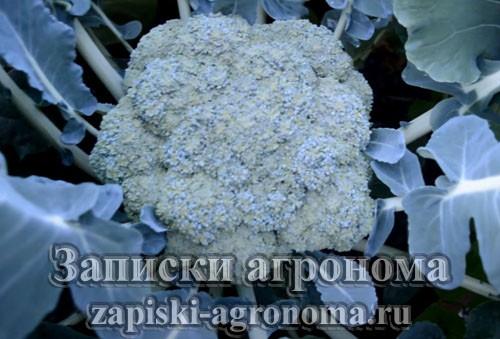 Капустные культуры их характеристика и особенности выращивания капусты брокколи