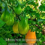 Поспевание помидоры