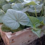 Выращивание огурцов в высокой грядке