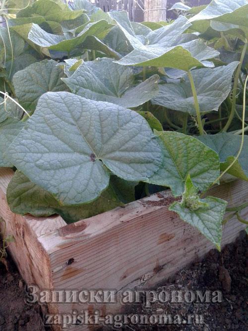 Выращивание огурцов в высокой грядке на своём участке