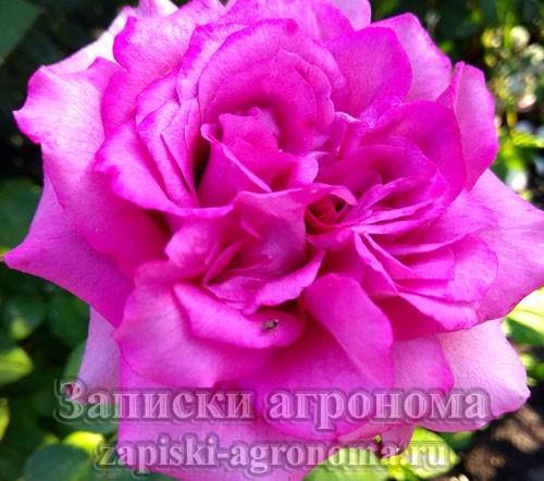 Как правильно ухаживать за розами в саду летом