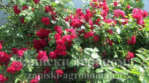 Как вырастить розы в вашем саду