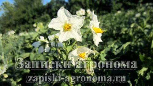 Картофель в фазе цветения