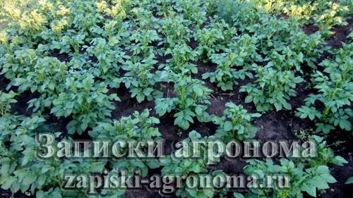 Способы выращивания картофеля