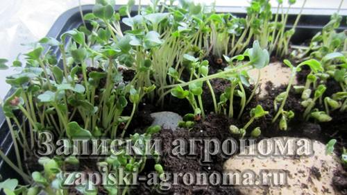 Микрозелень брокколи выращивание в контейнере