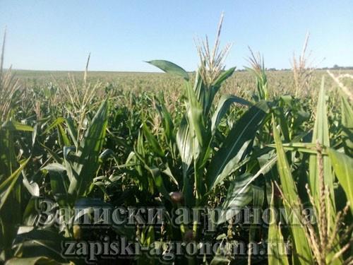 Развитие сельского хозяйства в России кукуруза