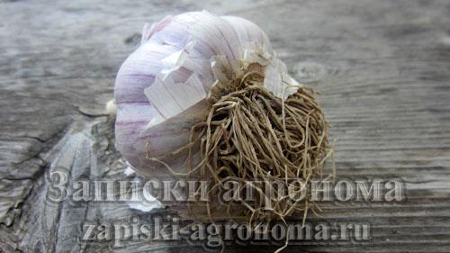 Как посадить чеснок осенью под зиму головка чеснока