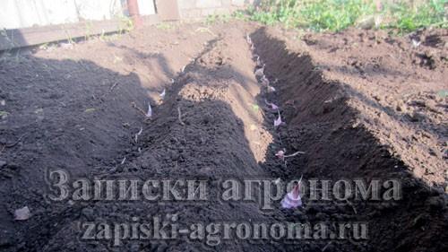 Как посадить чеснок осенью под зиму схема посадки