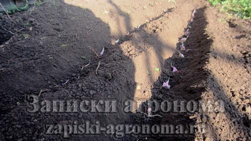 Схема посадки чеснока