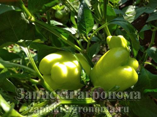 Как выращивать перец в открытом грунте