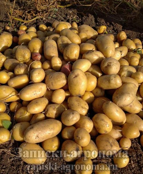 Способы выращивания картофеля сбор урожая