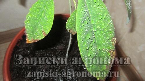 Как пересадить авокадо в другой горшок и дальнейший уход опрыскивание
