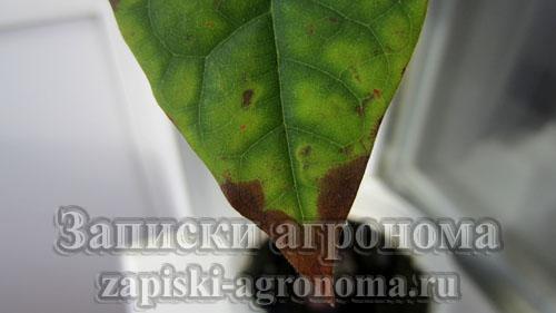 Как пересадить авокадо в другой горшок