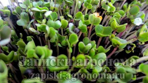 Сочные ростки микрозелени капусты