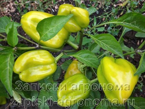 Фаза спелости болгарского перца на кусту