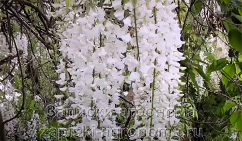 Белые цветы глицинии