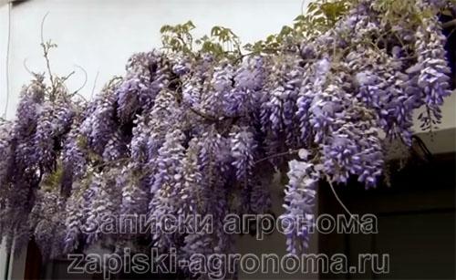 Цветы глициний это само совершенство