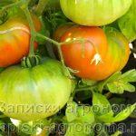 Плоды помидоров на кусту