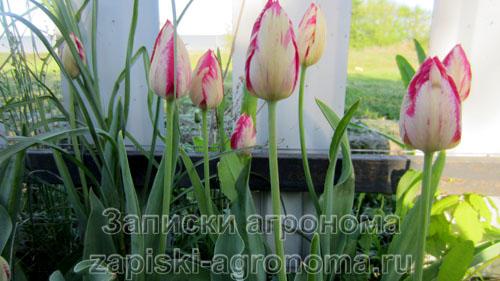 Грядка тюльпанов