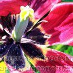 тычинка тюльпана
