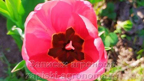 Раскрытый цветок тюльпана