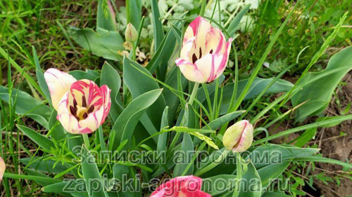 Полосатые тюльпаны имеют два цвета на одном цветке