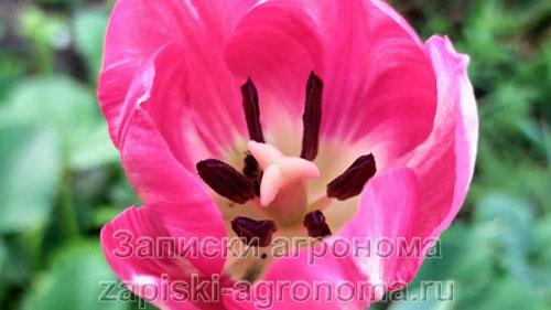 Пестики и тычинки в цветке