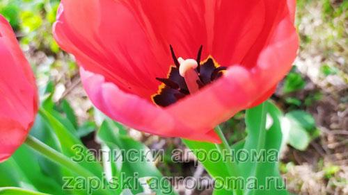 Как выращивают тюльпаны на продажу